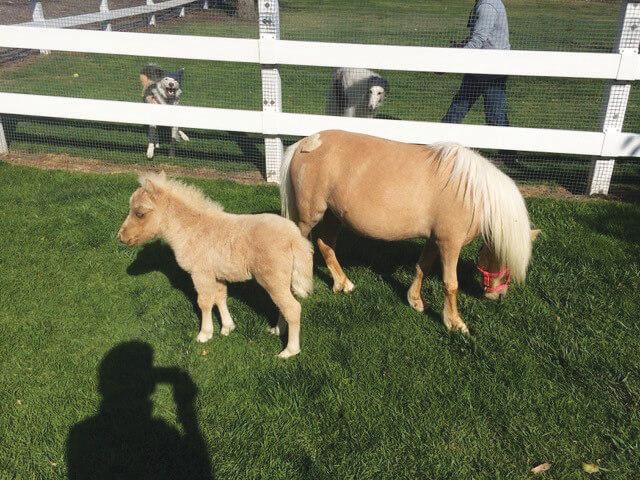 Coto Equestrian Preserves Newest Little Gems, Miniature Horses Captivate Coto de Caza Community